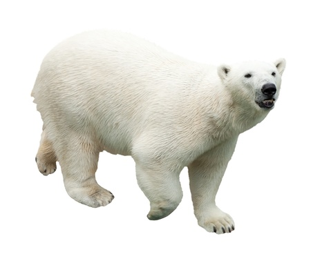 polar bear. Isolated over white background photo
