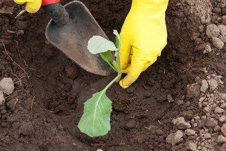 Gardener hands planting cabbage seedling in ground Stock Photo - 11636459