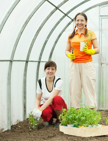 Two women planting tomato seedlings in greenhouse Stock Photo - 11636797