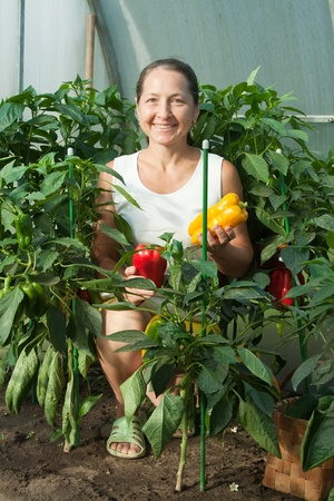 woman  picking  ripe pepper in the hothouse photo