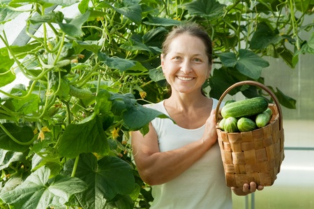 Smiling woman with harvested cucumbers in the hothouse