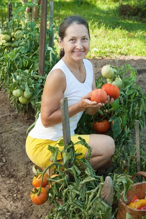 Mature woman picking tomato in plant photo