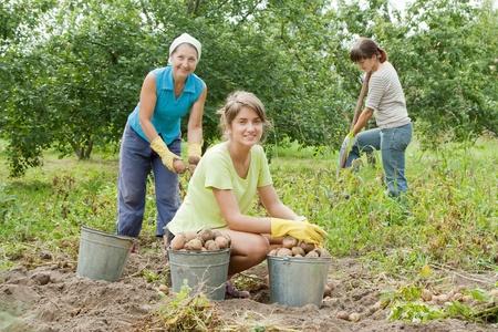crop harvesting: three women harvesting potatoes in field Stock Photo