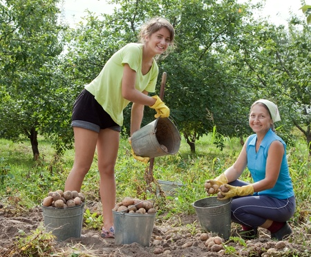 woman gardening: Two women harvested potatoes in field Stock Photo