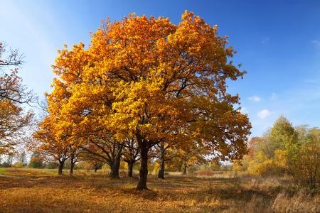 lanscape: Autumn lanscape with oak grove in september