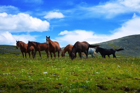 mongolia horse: herd of horses on mountains meadow