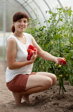 forcing bed: Young woman with  harvested tomato in greenhouse