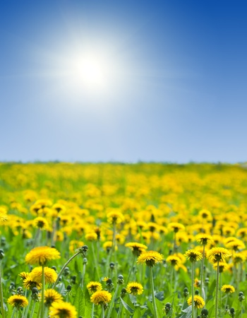 green field with  yellow dandelions under bly sky photo