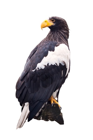 Stellers sea eagle  sitting on wood trunk. Isolated over white photo