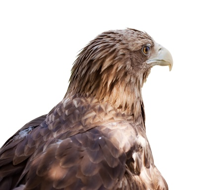 Head of white-tailed eagle. Isolated over white background photo