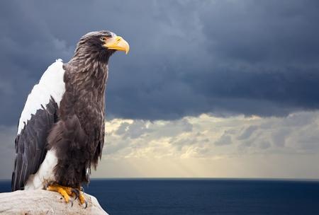 Stellers sea eagle against sea landscape photo