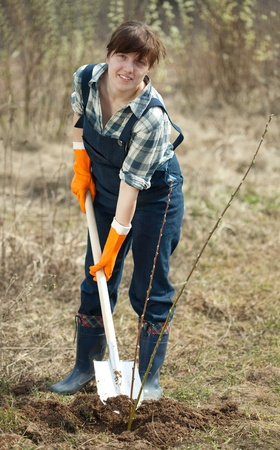 Female farmer  planting  sprouts shrubbery in ground photo