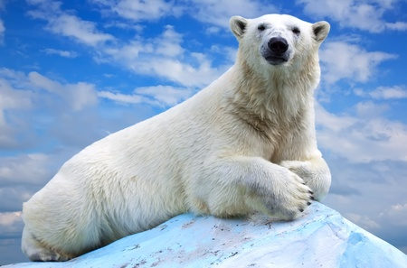 wet bear: polar bear in wildness area against sky Stock Photo