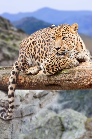 leopard  on wood at wildness area photo