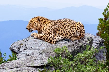 leopard  on stones at wildness area photo