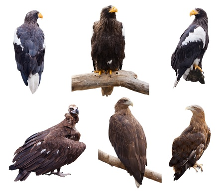 Set of  prey birds. Isolated over white Stock Photo - 12289246