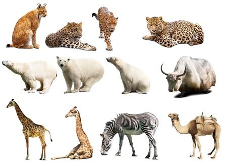 jaguar: Set dieren. Geà ¯ soleerd op witte achtergrond