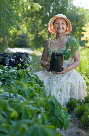 Female gardener with Parthenocissus tricuspidata sprouts in pots  at garden photo