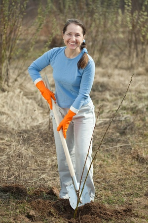 Mature woman resetting  bush sprouts in orchard photo
