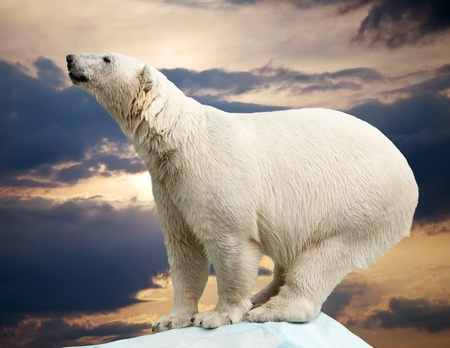 polar bear in wildness area against sunset photo