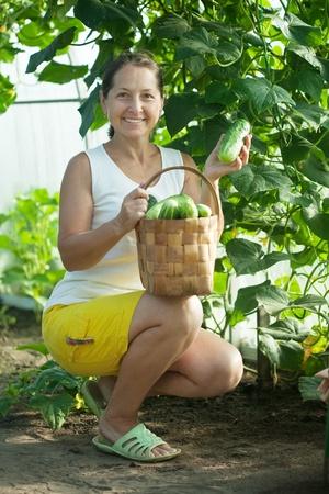 Mature woman   harvesting cucumbers in greenhouse photo