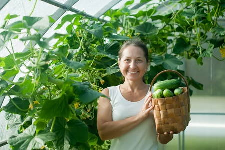 Mature woman   harvesting cucumbers in greenhouse photo