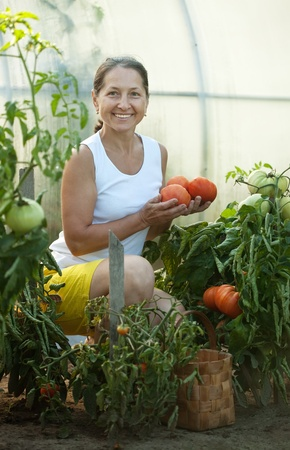 Mature woman picking organic tomatoes in greenhouse photo