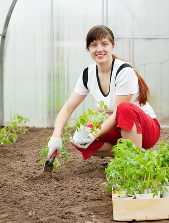 woman planting tomato spouts in greenhouse photo