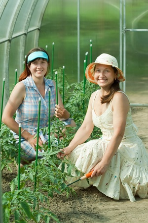 Two women prongs tomato plant at hothouse Stock Photo - 12612737
