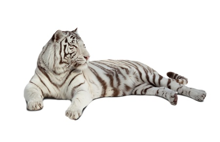 lying white tiger  Isolated  over white background with shade photo
