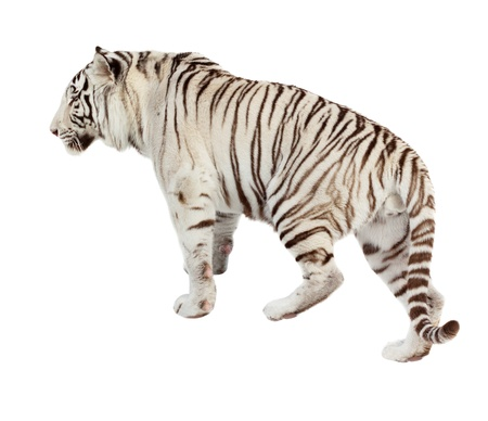 tiger white: Walking white tiger  Isolated  over white background