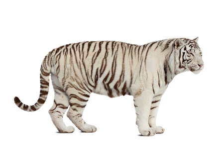white tiger  Isolated  over white background with shade photo