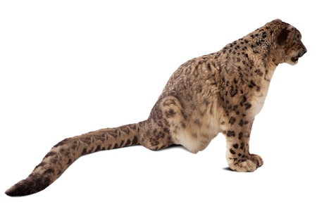 snow leopard: Snow leopard  Panthera uncia   Isolated over white background