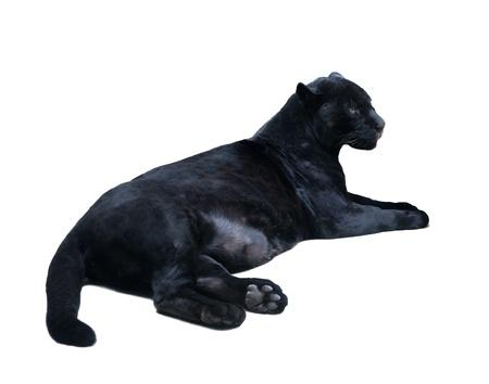 lying black panthera  Isolated  over white background with shade photo