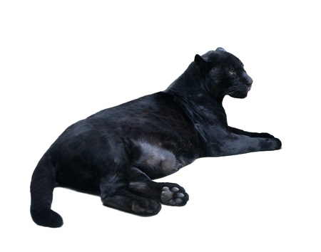 catamountain: lying black panthera  Isolated  over white background with shade