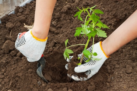 invernadero: Jardinero manos la siembra de pl�ntulas de tomate en suelo Foto de archivo