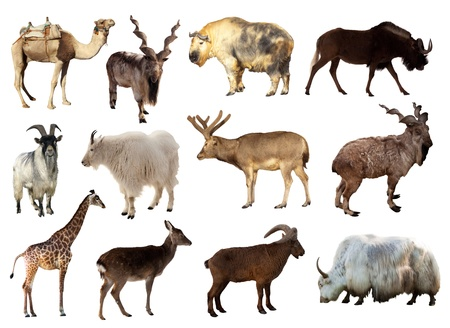 Set of Artiodactyla animals. Isolated over white background (Camel, Markhor, Takin, Gnu, Tur, Deer, Giraffe, Goat, Yak) photo