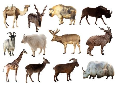 ungulate: Set of Artiodactyla animals. Isolated over white background (Camel, Markhor, Takin, Gnu, Tur, Deer, Giraffe, Goat, Yak) Stock Photo