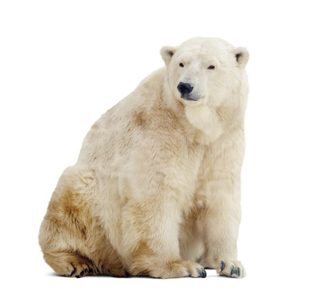 Sitting polar bear. Isolated over white background with shade