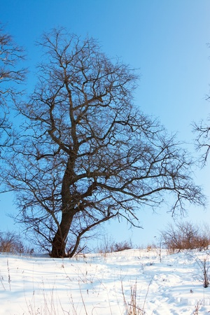 Landscape with oak tree in winter day photo