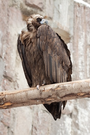 vulture sitting on wood trunk  against rocky background Stock Photo - 12791588