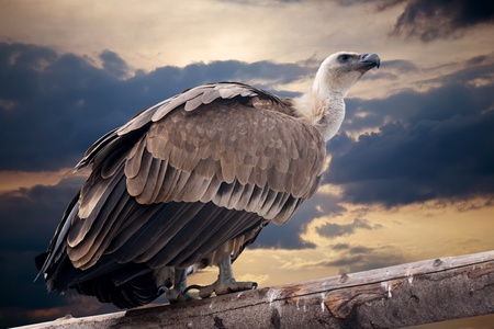 Griffon vulture sitting on wood trunk  against dramatic sky background photo