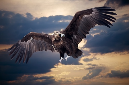 Flying black vulture  against sunset sky background Stock Photo - 12791585