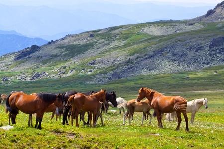 manada de caballos en el prado de montaña