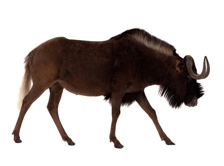 Black wildebeest (Connochaetes gnou). Isolated over white background photo