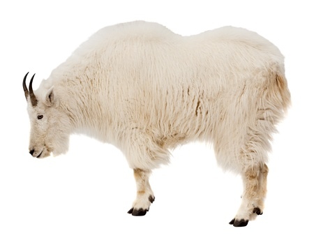 Rocky mountain goat (Oreamnos americanus). Isolated over white background photo