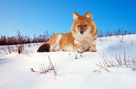 Dhole or Indian Wild Dog (Cuon alpinus) on snow photo
