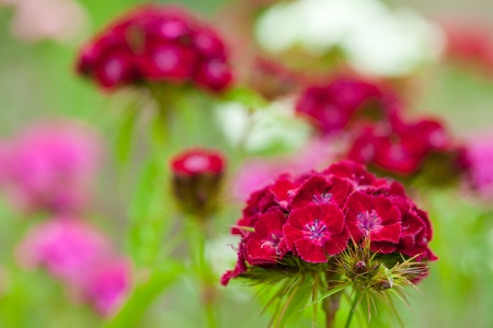 Closeup of purple carnation plant at garden photo