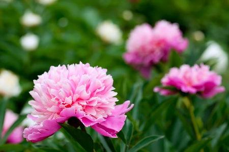 Closeup of pink peony plant at garden photo
