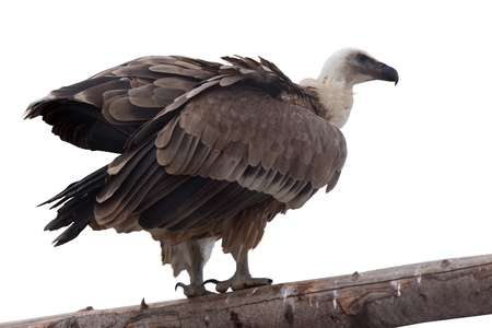 fulvus: Griffon vulture  Gyps fulvus  on wood trunk  Isolated over white background Stock Photo